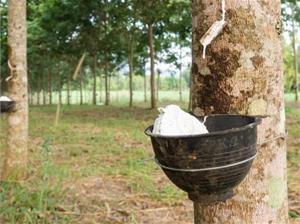 Камбоджа увеличила экспорт натурального каучука